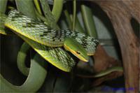 Плетевидная змея малайская