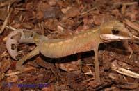 Кошачий эублефар Aeluroscalabotes felinus