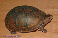 Kinosternon cruentatum Черепаха иловая трёхкилевая