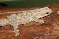 Blaesodactylus sakalava Блазеодактилюс сакалава
