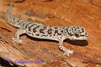 Pachydactylus capensis Геккон толстопалый капский