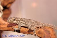 Cyrtopodion sagittiferum Геккон голопалый бемпурский