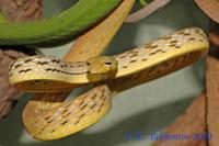 Ahaetulla prasina Плетевидная змея зеленая