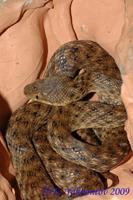 Madagascarophis colubrinus Мадагаскарская кошачьеглазая змея