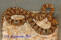 Lampropeltis mexicana thayeri Королевская змея Тэйера