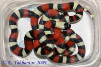 Lampropeltis triangulum campbelli Молочная змея Кэмпбелла