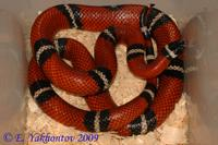 Lampropeltis triangulum sinaloae Молочная змея синалойская